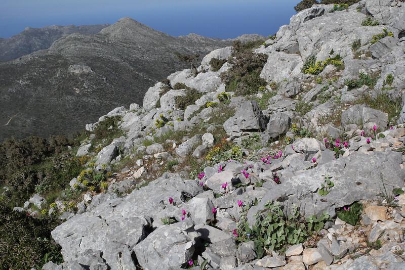 Cyclamen peloponnesiacum ssp. vividum, 1000m mountains SW of Lambokambos