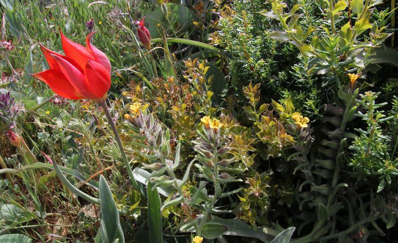 Alkanna methanaea and Tulipa goulimyi, mountains SW of Lambokambos