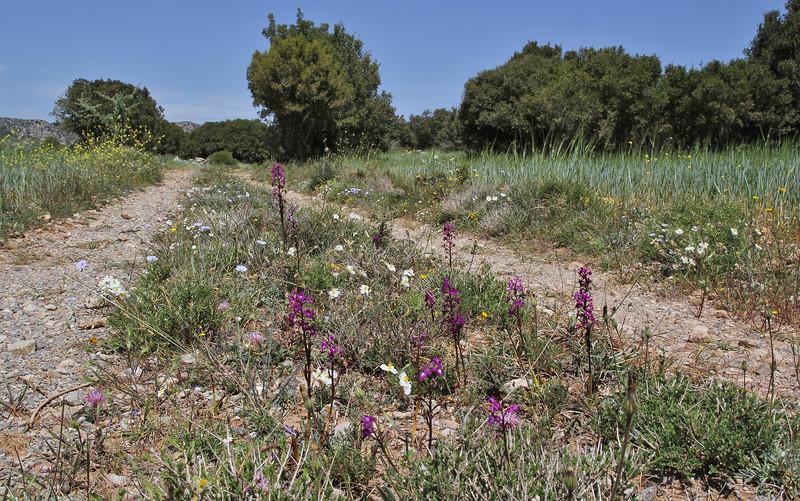 Orchis quadripunctata, cart track, deficient in lime, Sparti-Geraki