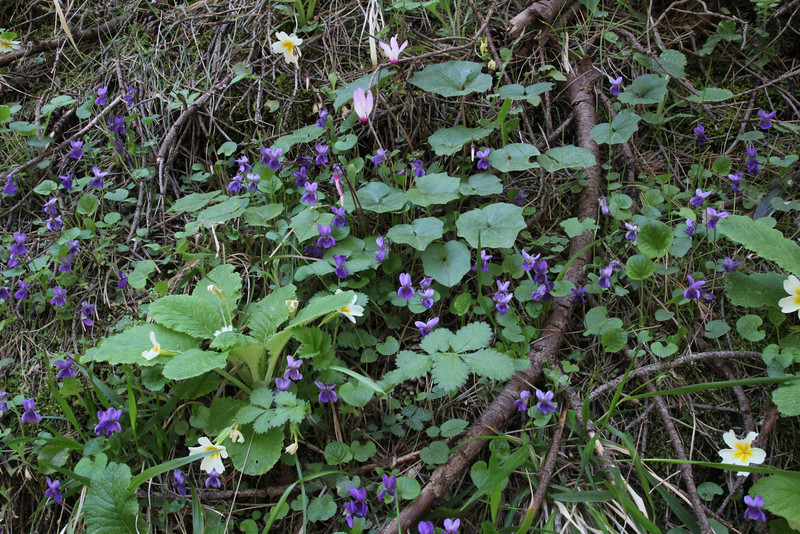 Primula vulgaris and Viola cf. odorata, Trailhead near M.Panagias-Profitis Ilisa 2407m highest summit, Taigetos mountains v.v. (SW of Sparti)