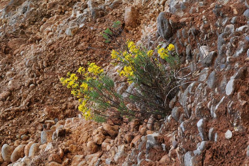 Hypericum empetrifolium, Sparti-Geraki