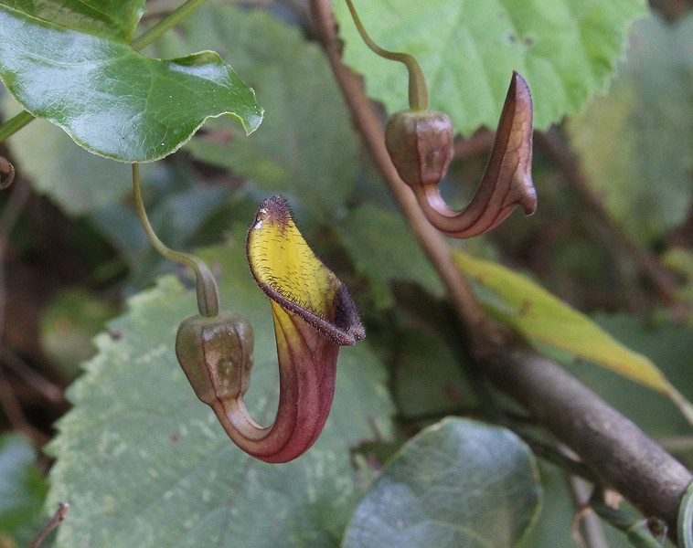 Aristolochia sempervirens, Mili Gorge, N of Kambos,  Kalathio mountains, Mani,