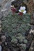 Saxifraga marginata var. boryi, Ascending-Profitis Ilias 2407m, highest summit, Taigetos mountains (SW of Sparti)
