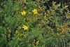 Hypericum empetrifolium, Lambokambos, foothills of Madara mountains