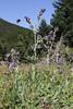 Anchusa officinalis, 1300m, near Mount Menalo 1980m, N of Tripoli