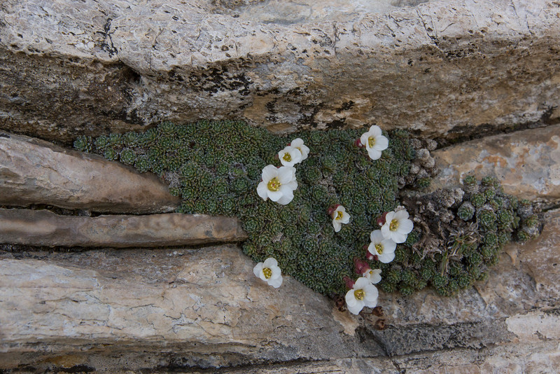Saxifraga marginata boryi, endemic to the Taygetos Mountains