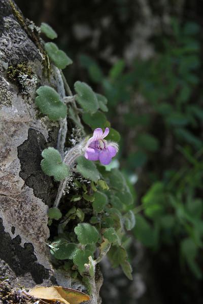 Cymbalaria microcalyx, Mili Gorge, N of Kambos,  Kalathio mountains, Mani,