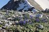 Muscari neglectum, Mount Helmos (Chelmos) 2341m
