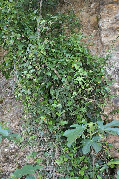 Aristolochia sempervirens, S of Mili Gorge, N of Kambos,  Kalathio mountains, Mani,