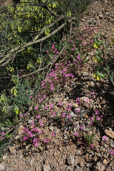 Saponaria calabrica,  'between Kalavrita and the<br /> junction to the Mount Chelmos ski resorts'.
