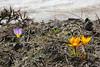 the bright yellow Crocus olivieri and Crocus sieberi  ssp. sublimis, Mount Helmos 2341m, SE of Kalavrita