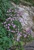 Silene goulimyi, endemic to the southern Peloponnese, Mistras-Lagada Gorge, E of Sparti