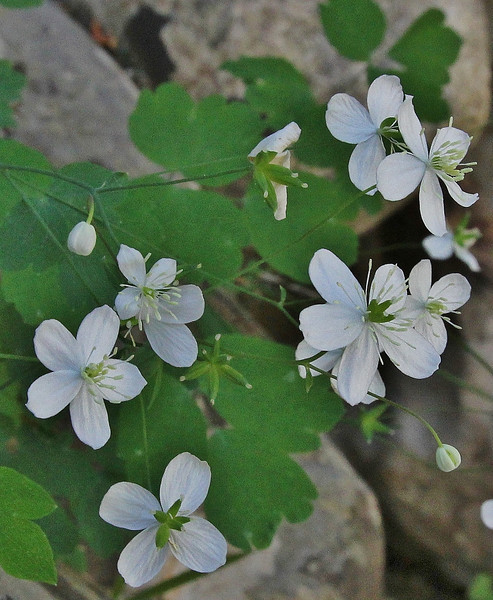 Thalictrum orientale, Mili Gorge, N of Kambos,  Kalathio mountains, Mani,