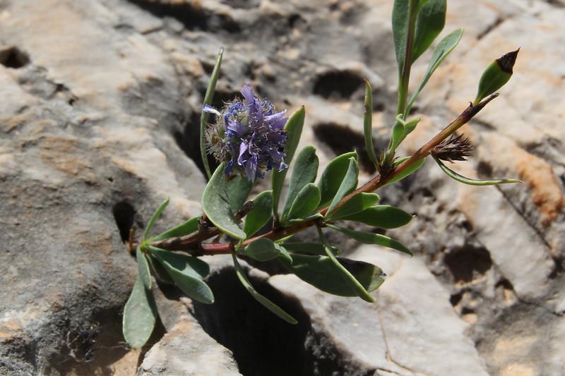 Globularia alypum, Sparti-Geraki