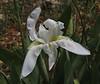 Iris albicans, naturalised, Lambokambos, foothills of Madara mountains