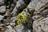 Draba laconica?, Ascending-Profitis Ilias 2407m highest summit, Taigetos mountains v.v. (SW of Sparti)