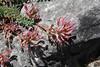 Astragalus spec., near Styx river, Mount Helmos 2341m, SE of Kalavrita