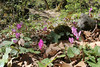 Cyclamen peloponnesiacum ssp. peloponnesiacum, Trailhead near M. Panagias-Profitis Ilisa 2407m highest summit, Taigetos mountains v.v. (SW of Sparti)