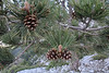 Pinus nigra ssp. pallasiana, Trailhead near M.Panagias-Profitis Ilias 2407m highest summit, Taigetos mountains v.v. (SW of Sparti)