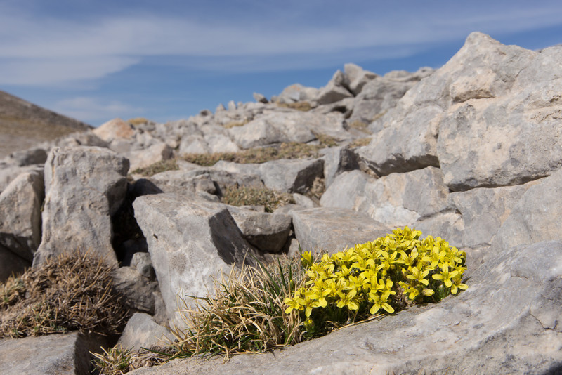 Draba laconica, Ascending-Profitis Ilisa 2407m, highest summit, Taigetos mountains v.v. (SW of Sparti)