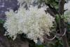 Flower of Fraxinus ornus, Mistras-Lagada Gorge, E of Sparti