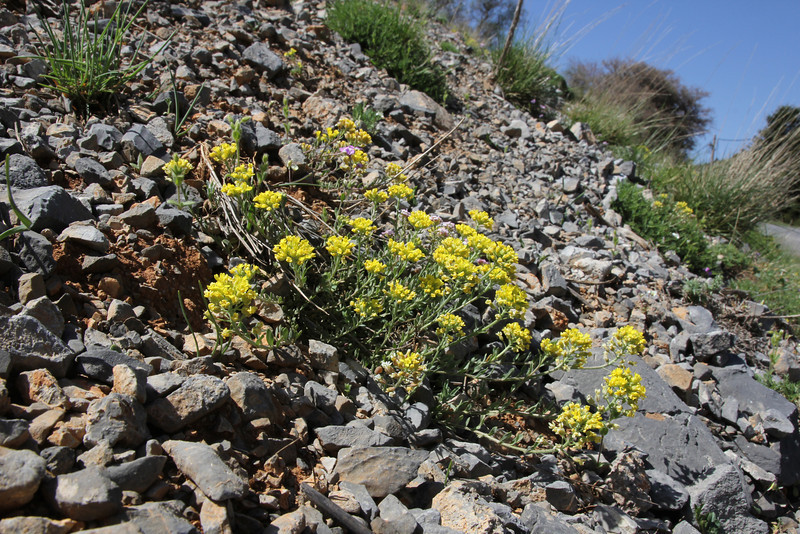 Alyssum spec., 1300m near Mount Menalo 1980m, N of Tripoli