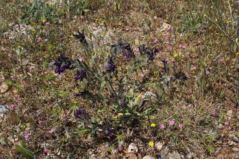 Anchusa officinalis, Geraki-Lambokambos, foothills Parnon mountains