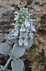 Stachys candida, S of Mili Gorge, N of Kambos,  Kalathio mountains, Mani,