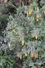Onosma graeca, S of Mili Gorge, N of Kambos,  Kalathio mountains, Mani,