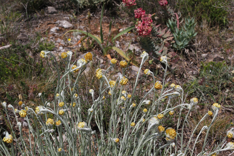 Helichrysum stoechas, Geraki-Lambokambos, foothills Parnon mountains
