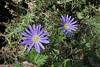 Anemone apennina ssp. blanda, Mount Menalo 1980m, N of Tripoli