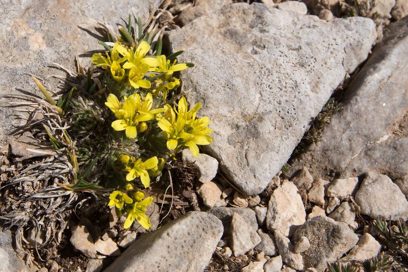 Draba laconica, Ascending-Profitis Ilisa 2407m, highest summit, Taigetos mountains v.v. (SW of Sparti)
