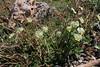 Viola aff. aetolica, 1500m, Mount Helmos 2341m, SE of Kalavrita