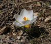 Crocus sieberi  ssp. nivalis, light coloured form, Ascending-Profitis Ilias 2407m, highest summit, Taigetos mountains v.v. (SW of Sparti)