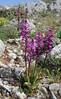 Orchis quadripunctata, mountains SW of Lambokambos