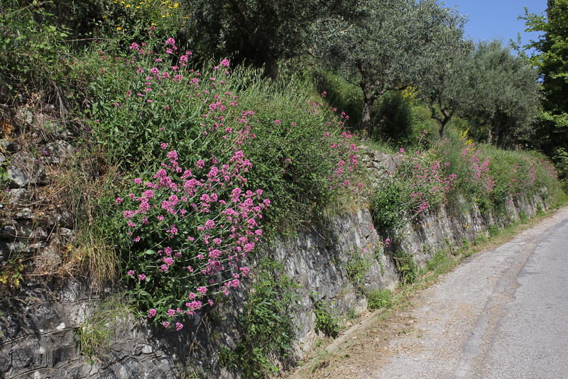 Centranthus ruber, Byzantine site, Mistras, W of Sparti