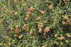 Sarcopoterium spinosum, Lambokambos, foothills of Madara mountains