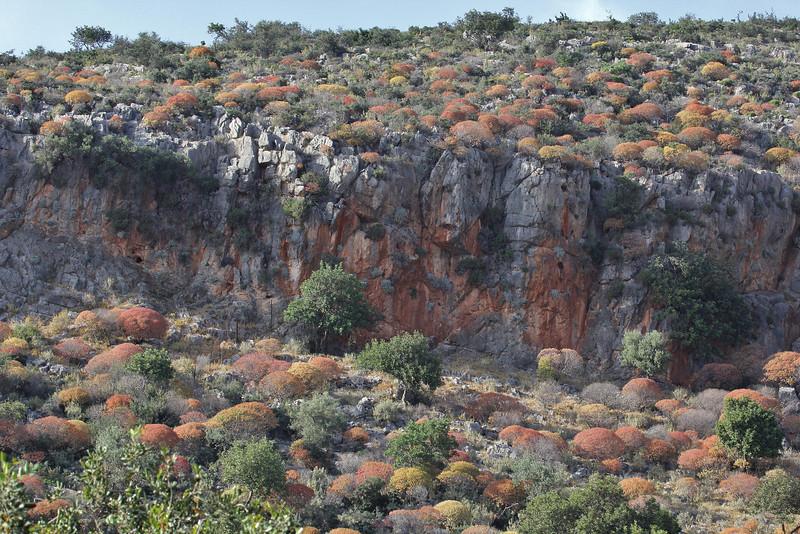 Euphorbia dendroides, colouring, 8km from the coast, Molai-Skala