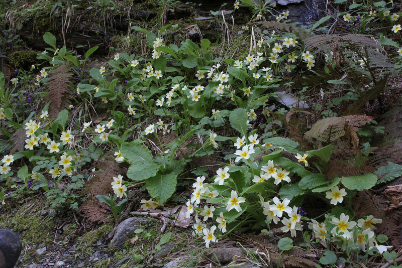 Primula vulgaris, Trailhead near M.Panagias-Profitis Ilisa 2407m highest summit, Taigetos mountains v.v. (SW of Sparti)