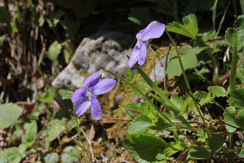 Viola riviniana, Pass, Mistra-Artemisia, W of Sparti