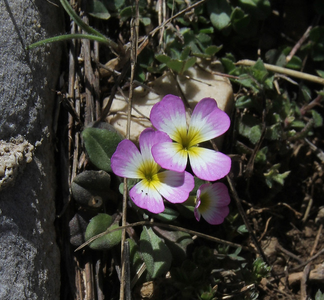 Malcolmia graeca, Ascending-Profitis Ilias 2407m, highest summit, Taigetos mountains v.v. (SW of Sparti)