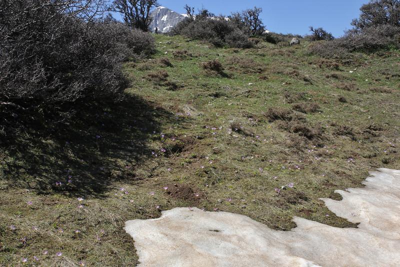 Crocus olivieri and Crocus sieberi  ssp. sublimis, Mount Helmos 2341m, SE of Kalavrita