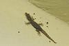 Tarentola mauritanica, Moorish gecko, campground,  Mistras, near Sparti
