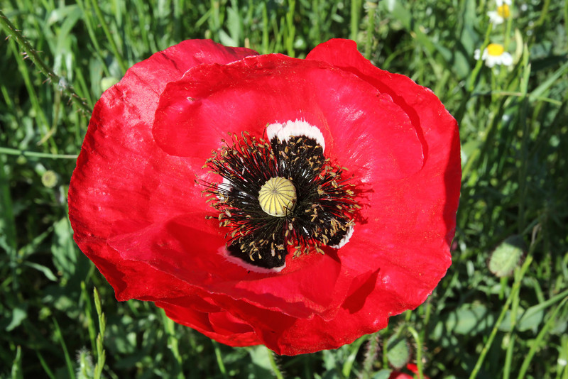 Papaver rhoeas, between Paleopanagia and Anogia, S of Sparti