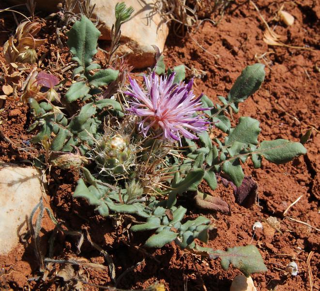 Centaurea raphanina, Sparti-Geraki