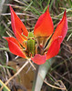 Nymph (grasshopper) in Tulipa goulimyi, mountains SW of Lambokambos