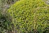 Euphorbia acanthothamnos, before Lagada Pass, Kalamata-Sparti