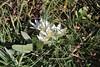 Ornithogalum oligophyllum, Mount Menalo 1980m, N of Tripoli