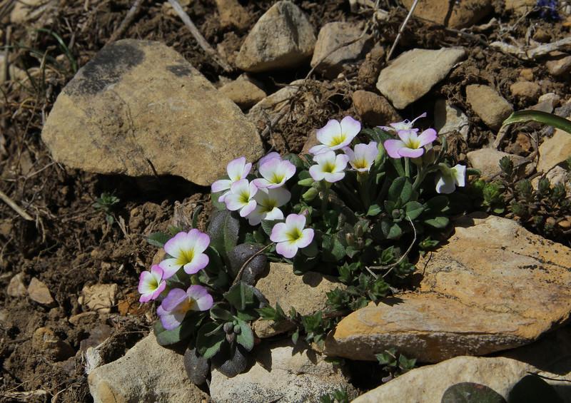 Malcolmia graeca, Ascending-Profitis Ilias 2407m, highest summit, Taigetos mountains v.v. (SW of Sparti)