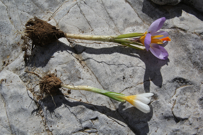 Corm of Crocus sieberi  ssp. nivalis, (only for ID purpose) Ascending-Profitis Ilias 2407m, highest summit, Taigetos mountains v.v. (SW of Sparti)